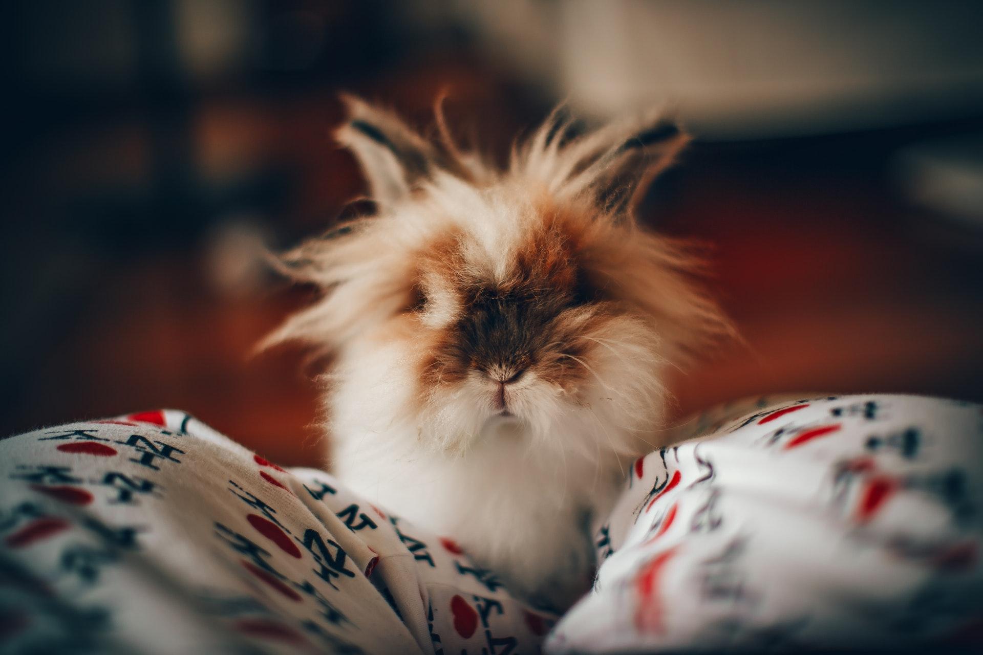 Kanin som husdjur